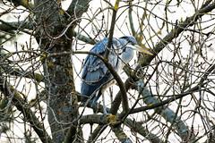 Héron cendré (Ardea cinerea) (yann.dimauro) Tags: france animal fr extérieur oiseau rhone rhônealpes givors ornithologie