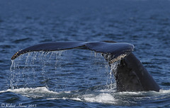 Humpback Whale (Robert Horne Wildlife Photography) Tags: marine tail newengland whale humpback humpbackwhale fluke megapteranovaeangliae cetacean