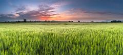 Campos de cereal (Alfredo.Ruiz) Tags: canon cereal mendoza panoramica alava ef1740 eos6d xxvexposicionalavavisionagriculturayganaderia