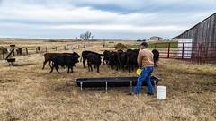 Feeding Time (Kool Cats Photography over 6 Million Views) Tags: oklahoma animals cattle feeding farm pasture farmer rancher