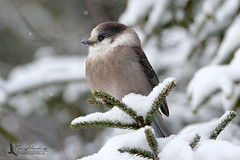 Gray Jay (Perisoreus canadensis) (Tim Harding) Tags: winter ontario nature birds forest wildlife algonquinpark grayjay diamondclassphotographer