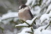 Gray Jay (Perisoreus canadensis) (Tim Harding) Tags: winter ontario nature birds forest wildlife algonquinpark grayjay diamondclassphotographer