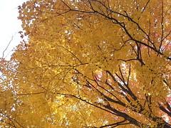 20151017_125500 (plussed) Tags: autumn fall maple foliage acer sugarmaple saccharum fall2015