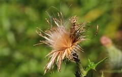 Seed Head 170816 (1) (Richard Collier - Wildlife and Travel Photography) Tags: naturalhistory flora flowers flowersenglishflowers flowerheads seedhead macro