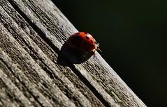Marienkfer (Hugo von Schreck) Tags: hugovonschreck bug kfer marienkfer ladybug outdoor macro makro insect insekt coccinellidae canoneos5dsr tamron28300mmf3563divcpzda010