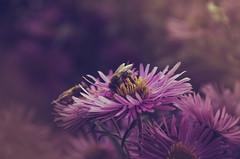 IMGP6892 (Thomas Gloner) Tags: biene bee september blume flower dream traum grainau bavaria bayern germany deutschland