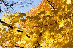 Golden jungle3_MG_1337 (CFurjanic93) Tags: pennstate pennstateuniversity trees fall fallsession stude students college collegecampus bikes sun warmth foliage sky bikerack golden yellow orange
