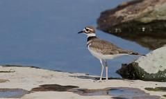Killdeer (ricketdi) Tags: bird aylmer killdeer pluvierkildir charadriusvociferus