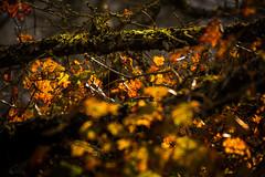 Autumn leaves (marcmayer) Tags: autumn herbst fall bltter blatt leaves tree colors nikon d5200 sigma 18250mm autumnal harvest