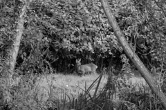 untitled (robwiddowson) Tags: nature natural trees roedeer deer roe wildlife animal animals blackandwhite photo photograph photography image picture