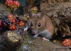 Woodmouse (Apodemus sylvaticus) - Buckinghamshire (Alan Woodgate) Tags: nature