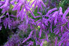 flors (Nic lai) Tags: flower flors flores lilas