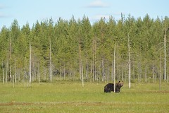 Far Away (Bn Lefort) Tags: wild sauvage finland finlandia finlande bear ours lanscape