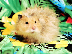 Super Grumpy Gucio (pyza*) Tags: hamster hammie syrian syrianhamster chomik chomiksyryjski animal pet rodent critter adorable cute sweet furry fluffy monster