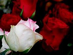 Street Flowers (David_Blair) Tags: warsaw poland white rose red flower flowers macro closeups closeup flowerstand leaf leaves petals petal green dark nikoncoolpixl840 nikoncoolpix nikon coolpix l840