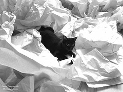20170907-Angus vs Paper (Snow Dragonwyck) Tags: photodactylcom angus paper crumpled dry bw blackandwhite black cat kitty play fun toy