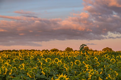 Field with Sunflowers (Infomastern) Tags: lund blomma cloud field flower fã¤lt himmel moln sky solros sunflower