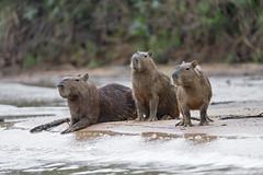Thee capybars on the beach (Tambako the Jaguar) Tags: capybara big rodent water river calm waiting beach many three family wildanimal wild wildlife nature pantanal matogrosso brazil nikon d5