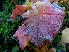 Thembleberry Leaf (Ramona H) Tags: thimbleberry northcascades rubycreektrail color fall fallcolor plant leaf autumn