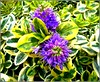 The Hebe Plant .. (** Janets Photos **) Tags: uk plants flora flowers foilage shrubs hebe nature