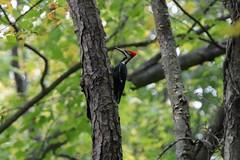 Pileated Woodpecler (Zach Frieben) Tags: canoneosrebelt6i tamron150600 pileatedwoodpecker summitpointe battlecreek michigan 2016