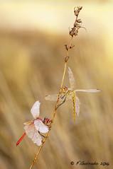 Subiendo/Climbing (F.Guirado) Tags: 2016 lleida macro octubre sympetrumfonscolombii sony alfs 90mmfe dragonfly liblula macrofotografia macrophoto