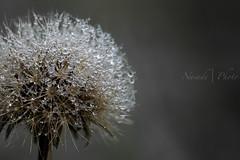 Rugiada (Naiade Photography) Tags: 2016 autunno brianza curone d610 europa italia macro nikon parcodelcurone seasons autumn drops goccie stagioni rugiada