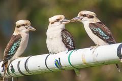 Kookaburra Trio (SC) Tags: kookaburra trio
