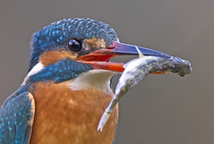 Kingfisher (oddie25) Tags: canon 7d 500mmf4 kingfisher bird wales nature wildlife