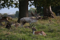 Ruler Of All He Surveys (Chris*Bolton) Tags: deer fallowdeer phoenixpark dublin ireland stag doe bellowing nature wildlife trees