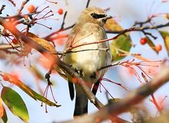 cedar waxwing in Waukon IA 854A7266 (lreis_naturalist) Tags: cedar waxwing waukon allamakee county iowa larry reis