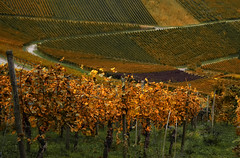 Burning Fields (Don Csar) Tags: deutschland alemania germany europe europa autumn otoo herbst viedos rojo red orange badenwrttemberg stuttgart rotenberg leaves vineyards blattern wine vino