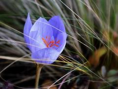 _FFP (SpitMcGee) Tags: herbstkrokus crocusspeciosus prachtherbstkrokus lila herbst autumn ffp fridayflowerpower inmeinemgarten spitmcgee