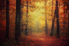 Autumn Walk XLII. (Zsolt Zsigmond) Tags: autumn fall forest trees woods tree foliage fog mist light sunrise morning outdoor landscape nature landschaft colour bright walk picture day sigma exposure trail path colours yellow orange flickr