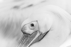 Knusjes (Christel Schoepen) Tags: pelikaan planckendael dierentuin zw nikonflickraward