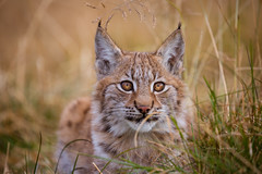 Little hunter in the grass (CecilieSonstebyPhotography) Tags: 4months 4monthsold canon canon5dmarkiii ef100400mmf4556lisiiusm eurasianlynx gaupe irja langedrag lynx lynxcub lynxkitten markiii norway animal autumn beautiful bokeh cat catfamily closeup cub cute eartufs ears endangered eyes fall gaze gorgeous grass hunter hst kitten look nose october outdoor portrait stare straws specanimal