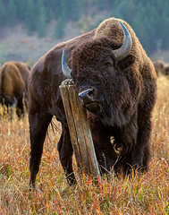 Bison Scratching Post (Eric Gofreed) Tags: bison grandtetonsnationalpark jacksonhole wyoming