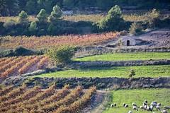 Vinyes de tardor, paisatge de l'Alt Peneds. (Angela Llop) Tags: catalonia spain penedes vine vineyards sheep fall landscape