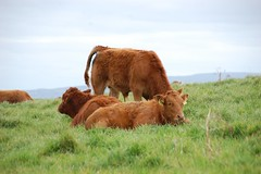 Cliffs of Moher - cows (ManuWolf) Tags: cliffsofmoher aillteanmhothair coclare ireland