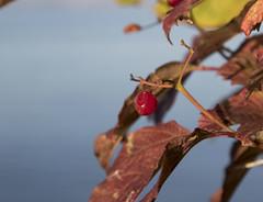 Seul................! (Elyane11) Tags: arbuste fruit automne feuilles saariysqualitypicturesgallery