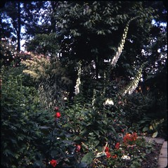 img107 (foundin_a_attic) Tags: flowers clour garden red white our july 1978