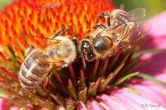 Bienen 55 (rgr_944) Tags: bienenhummelnwespen bienen bee abeille insekten macro natur tiere outdoor canoneos60deos70deos80d rgr944 pflanzen blumen