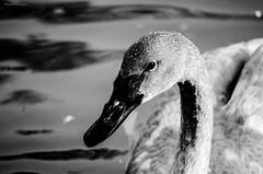 Elegance... (@ S h a s h p h o t o g r a p h y) Tags: shashphotography swan pentaxk5