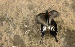 Wisley Exotic Butterflies Feb 2014 (gardengeorgie) Tags: select wisley surrey rhs butterflies exotic february 2014