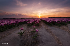 Only three tulips (Caramad) Tags: rosa color sunset paisesbajos lisse jardin campo keukenhot holanda holland magenta tulipn tulip sol agricultura flower flor field