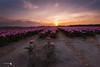 Only three tulips (Caramad) Tags: rosa color sunset paisesbajos lisse jardin campo keukenhot holanda holland magenta tulipán tulip sol agricultura flower flor field