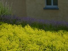 Frauenmantel-Blüte (Jörg Paul Kaspari) Tags: edingen juni tagderarchitektur 2010 sommer landgarten garten frauenmantel alchemilla gelbgrün blüte alchemillamollis