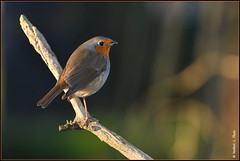 Rouge gorge familier ( Erithacus rubecula ) (norbert lefevre) Tags: plumage rougegorge familier nikon d500