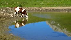 Lac de la Case - Haute-Savoie - France (Felina Photography) Tags: vache cow koe animal reflection lac see meer lago lake lacdelacase