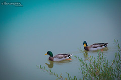 Two ducks (v.Haramustek) Tags: osijek osjekobaranjskaupanija croatia hr duck ducks rover drava water nature animals birds bush two swimming swim